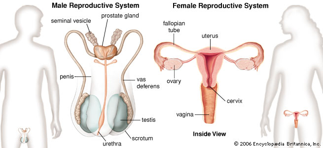 Reproductive System - Body Systems